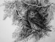 Northern Pygmy Owl -Autumn