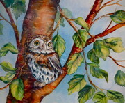 Pygmy Owl On Native Birch